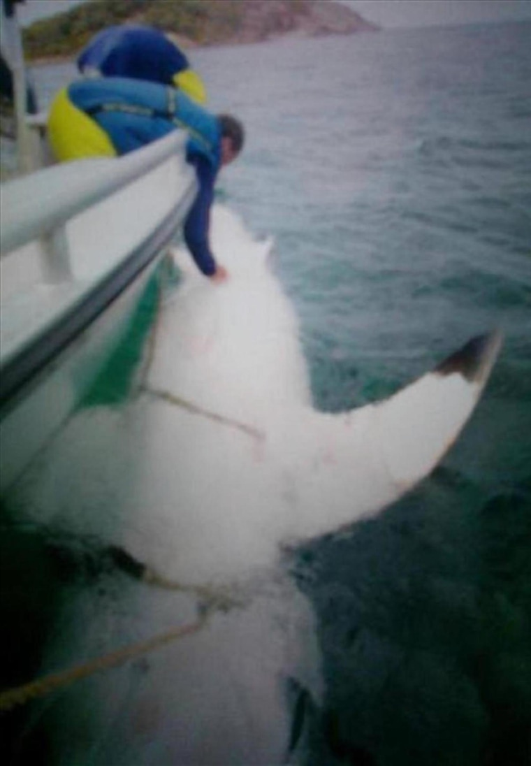 """""""Joan of Shark"""" is the largest great white shark ever tagged."""