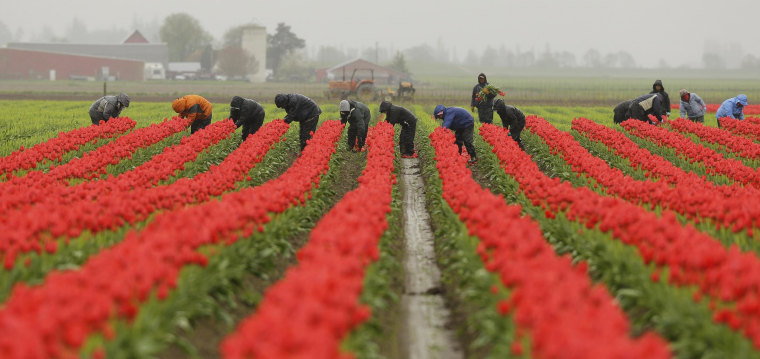 Image: Workers pluck petals from tulips