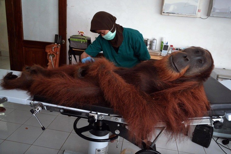 Image: A staff member examines a 14-year-old male orangutan found with air gun metal pellets embedded in his body at the Sumatran Orangutan Conservation Center in Indonesia