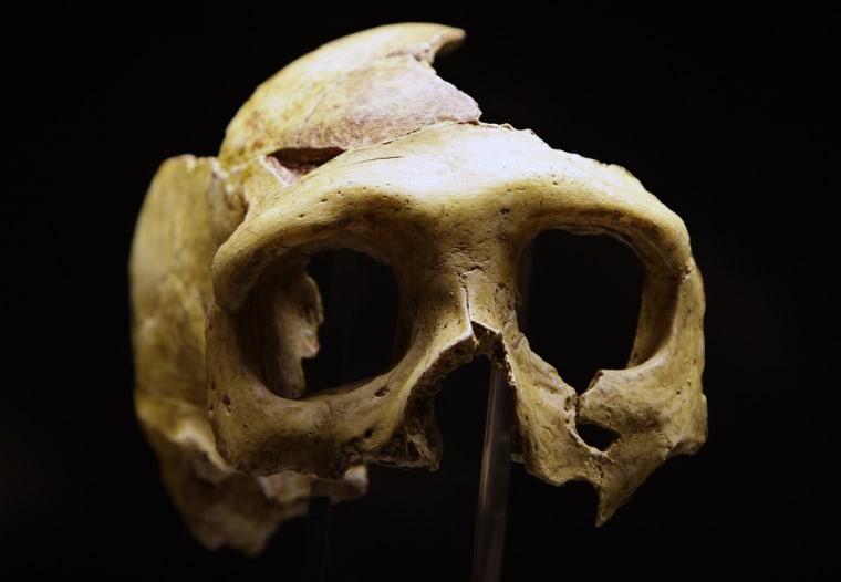 Image: Replica of Neanderthal skull