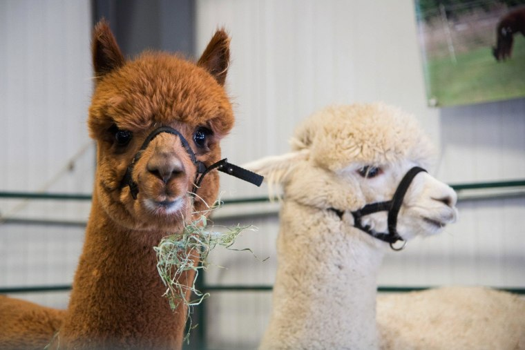 Image: Alpacas at the Vermont Farm Show on Jan. 28