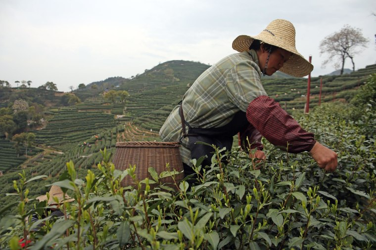 Image: Longjing tea leaves are picked at a plantation on March 28 in Hangzhou, China.
