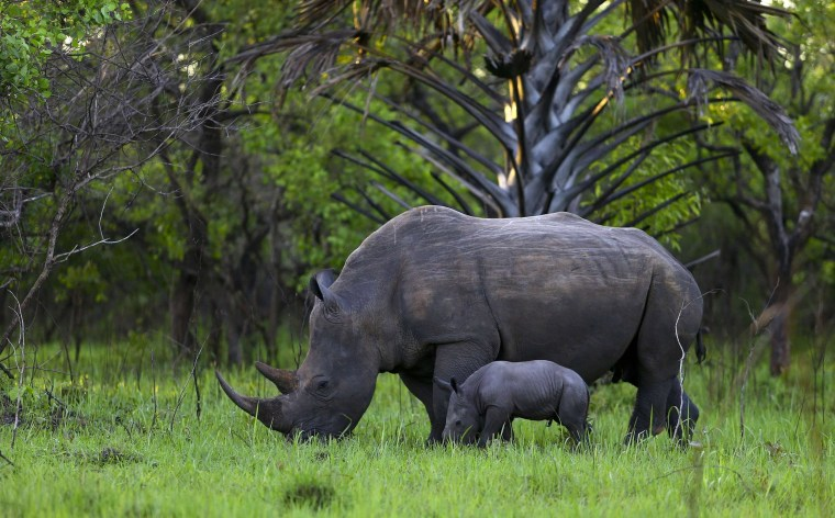 Image: A Southern White Rhino named Bella eats with her one-day-old baby at Ziwa Rhino Sanctuary in Nakasongola