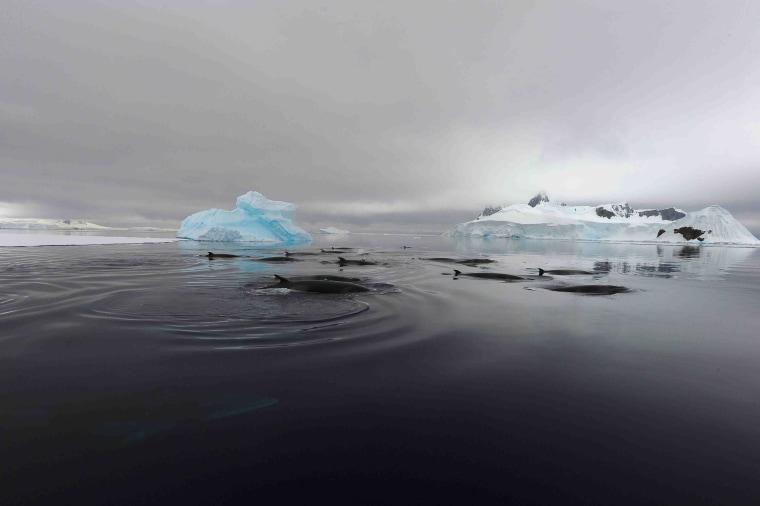 Image: Antarctic minke whales in Wilhelmina Bay, Antarctica