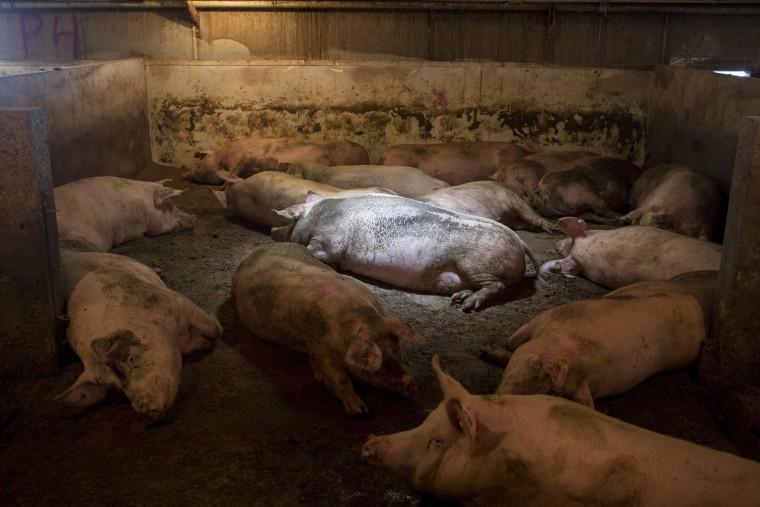 Image: Pigs sleep in their pen in Iowa