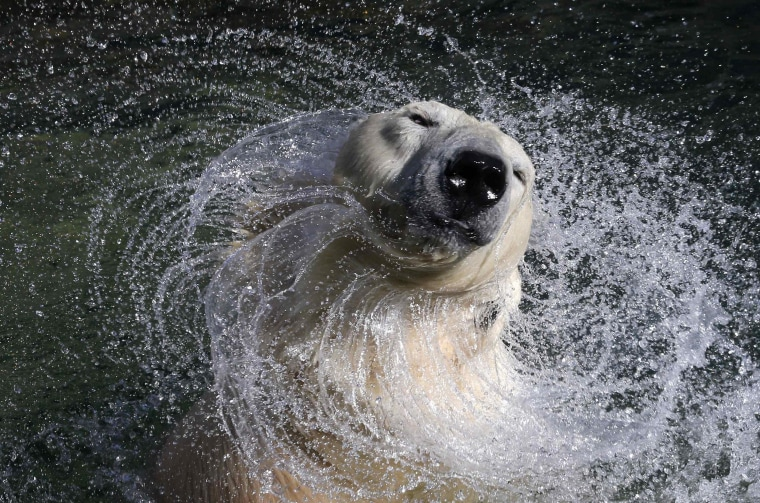 27-year-old polar bear Uslada shakes off water in her pool at the Leningrad Zoo in St. Petersburg on April 24.