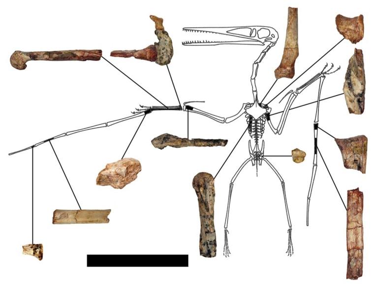 Image: Illustration of fragmentary remains of Kryptodrakon progenitor
