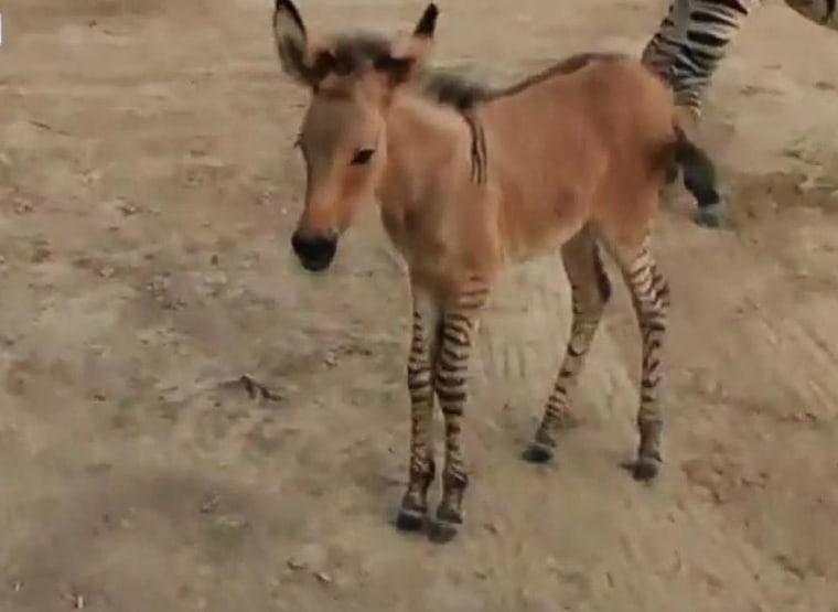Zebra + Donkey = 'Zonkey' at Mexico Zoo