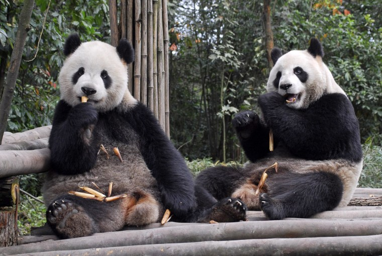 """Image: Two giant pandas named """"Tuantuan"""" and """"Yuanyuan"""""""