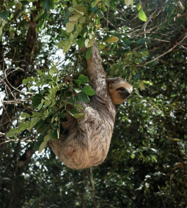 Image: A sloth at the edge of a forest in the Amazon.