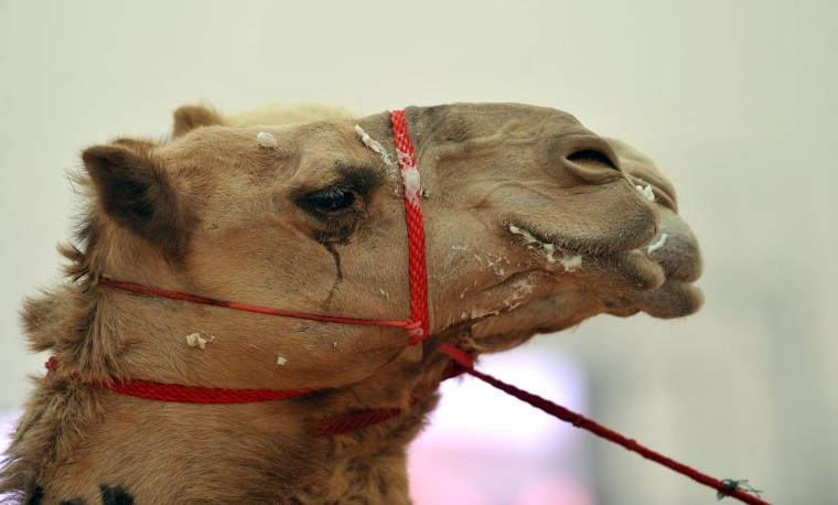 A new study shows camels are almost certainly the source of MERS.