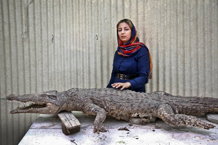 Mojgan Roostaei poses for a photograph with a taxidermic crocodile at her crocodile breeding farm on the Iranian island of Qeshm in the southern Persian Gulf on April 22, 2014.