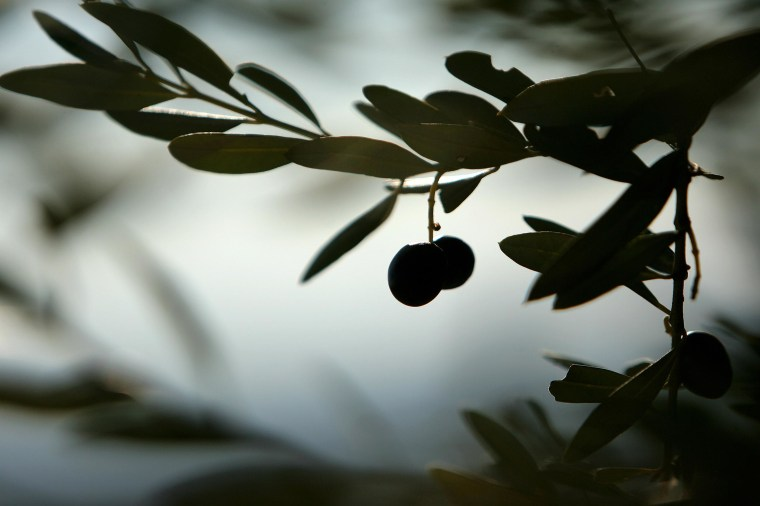 Image: Olives hang from an olive tree in Italy