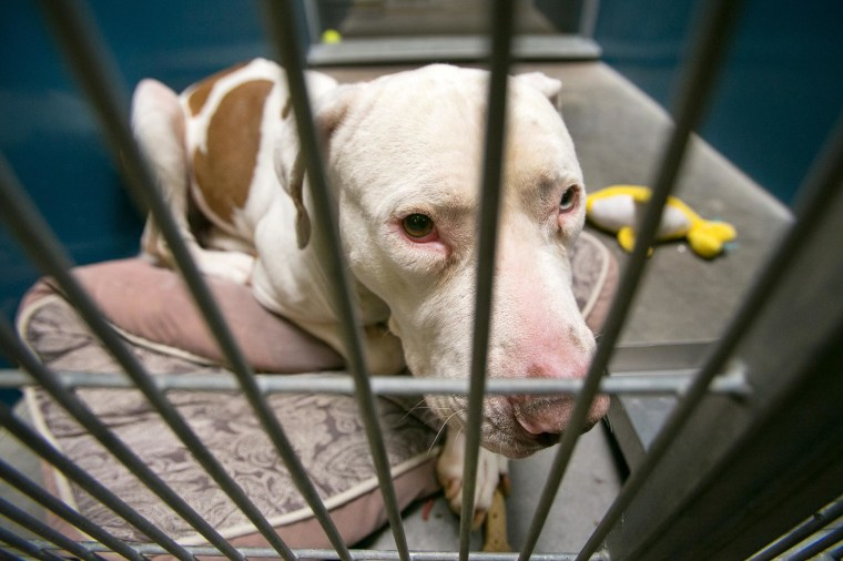 Image: Mickey, a pit bull