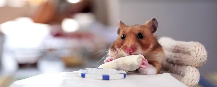 A hamster eats a tiny burrito.