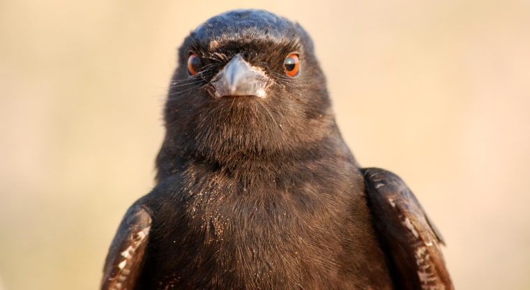 Image: Fork-tailed drongo