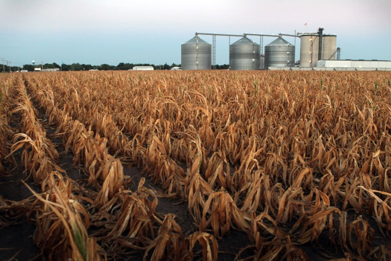 Image: A field of dead corn