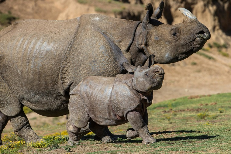 Image: Rhino calf makes debut at San Diego Zoo Safari Park