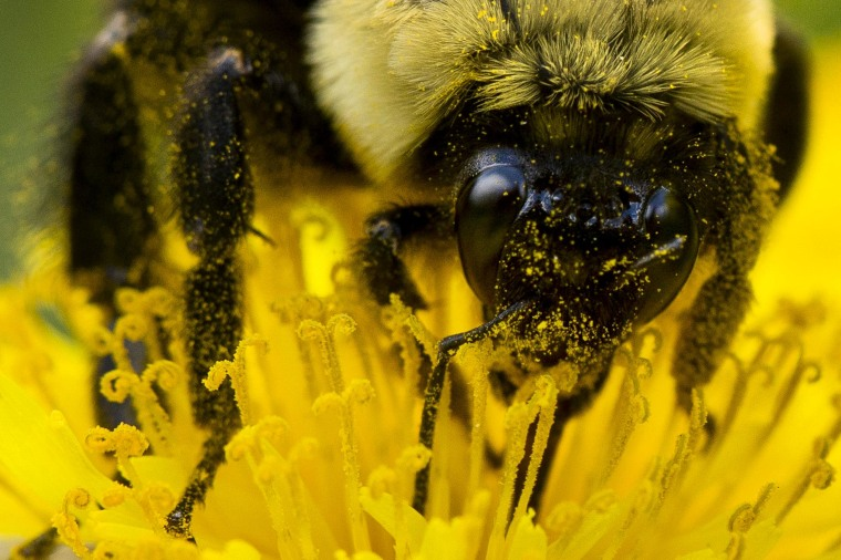 Image: Pollen sticks to a bee