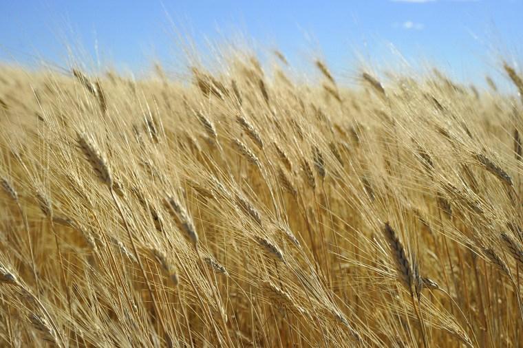 Image: Wheat ready for harvest on Sept. 29, 2010 near Tioga, North Dakota