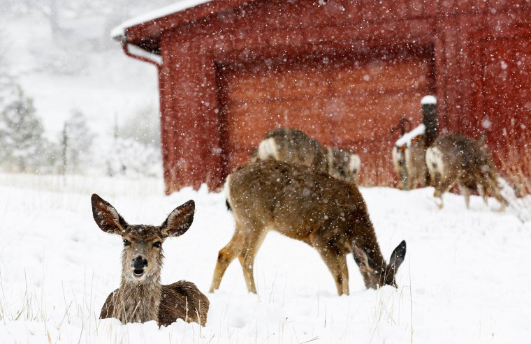 Image: Mule deer are seen in snow during a late spring snow storm in Golden