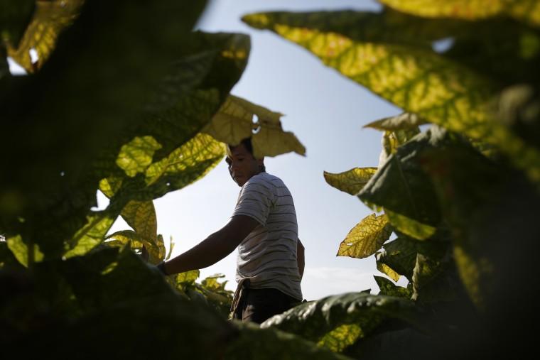 Image: Tobacco Harvesting Underway In Kentucky