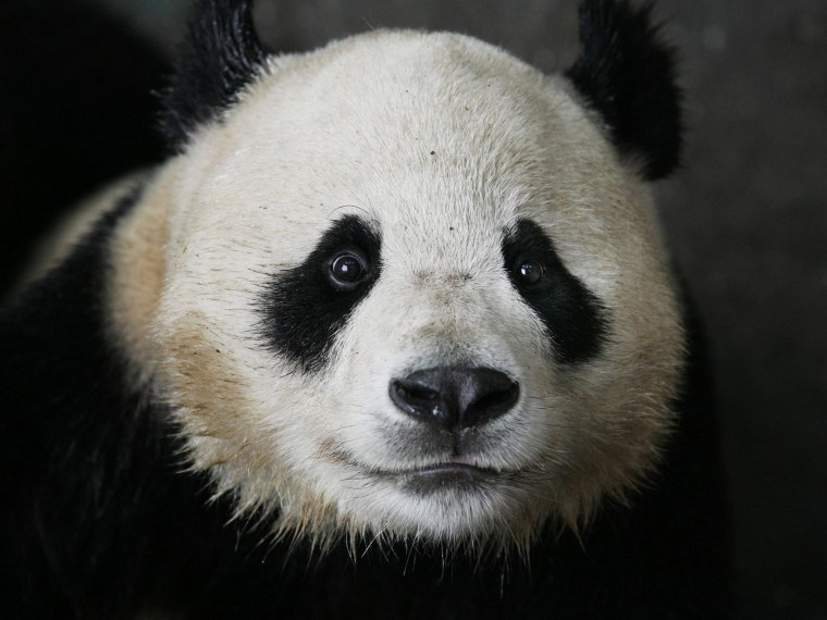 Giant Pandas From Quake-hit Area Transfered To Wuhan
