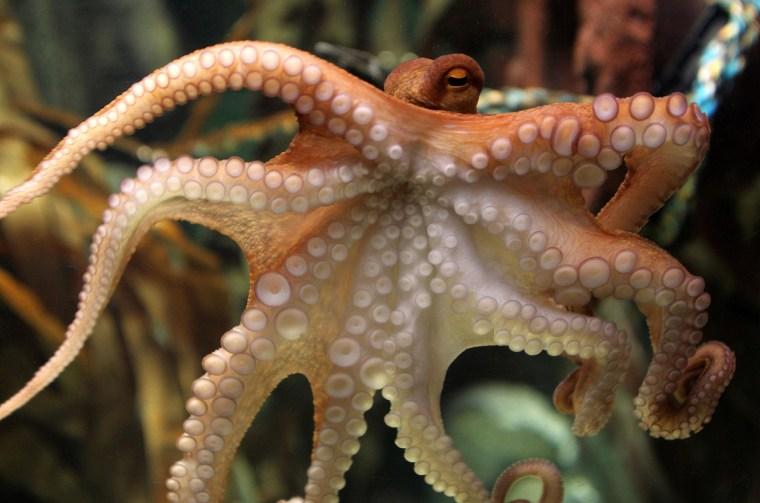 Image: An octopus named Paul swims through his basin
