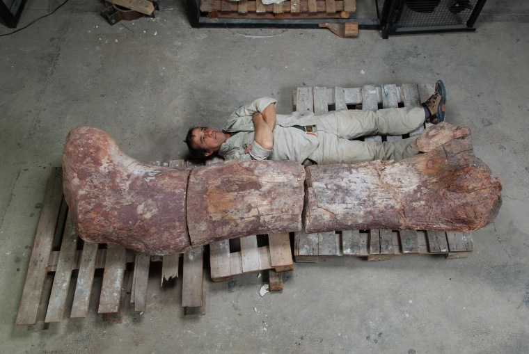 An employee of the Museum of Palaeontology Egidio Feruglio lies down next to the femur bone of a giant dinosaur discovered in Argentina.