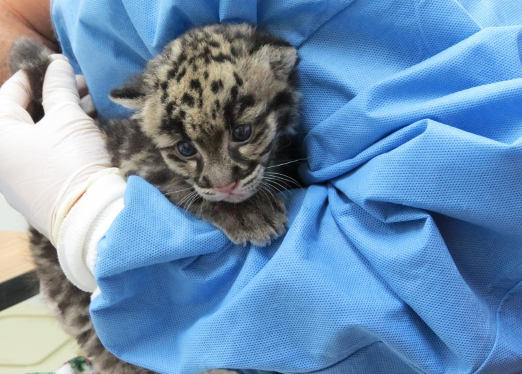 Image: The Denver Zoo welcomed an unnamed baby clouded leopard cub.