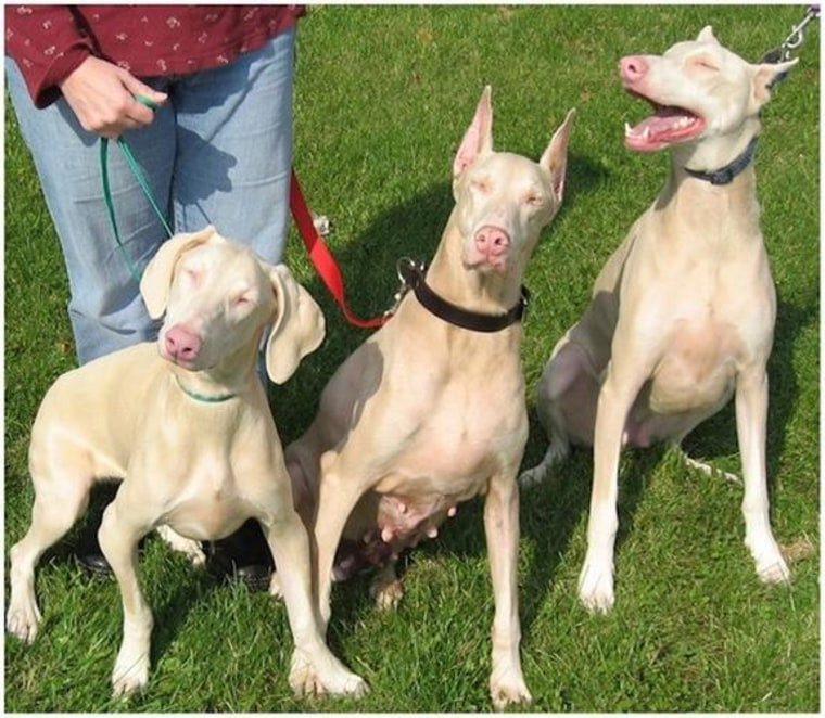 Albino Doberman pinschers share a similar gene with humans who also have the condition, scientists say