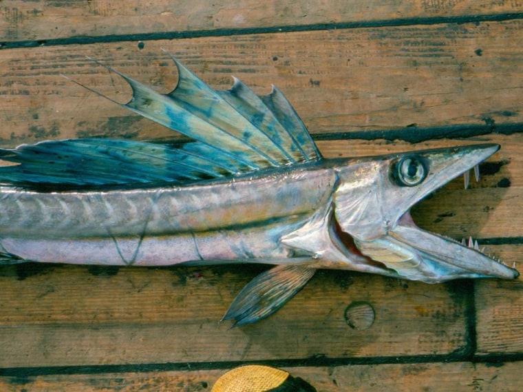 Image: Lancetfish