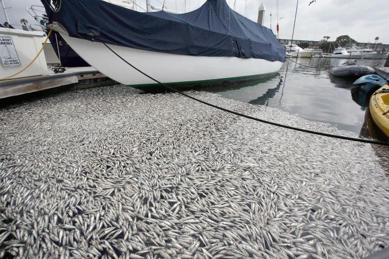 Image: Thousands of dead fish wash up along boat slips at the Marina Del Rey, Calif.