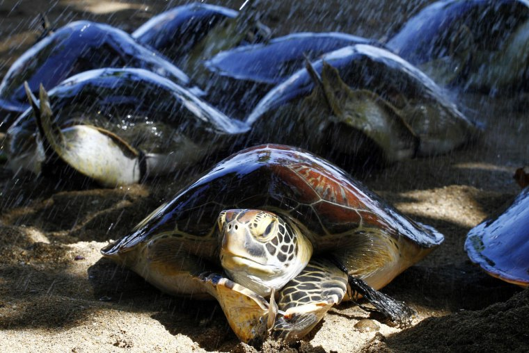 Image: Sea turtles crawl before being returned to the ocean on a beach in Bali, Indonesia