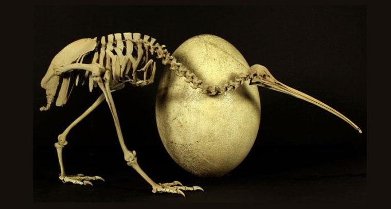 Image: Skeleton of adult kiwi and egg of Madacascar's huge elephant bird