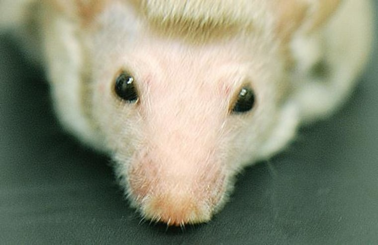 Image: Mouse with mohawk