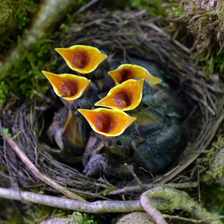 Image: Blackbird nestlings (Turdus merula) beg for food as they sit  in a nest