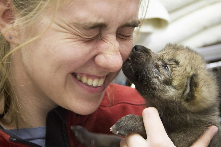 Image: A small wolf pup that survived a wildfire in Alaska licks a woman helping to give five pups a checkup.