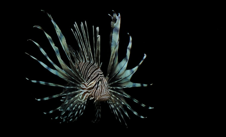 Image: A lionfish in the Port Everglades Inlet off Fort Lauderdale, Fla.