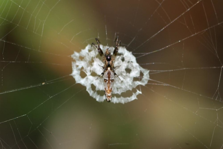 Orb-web spiders like this one camouflage themselves as bird droppings to avoid predators.