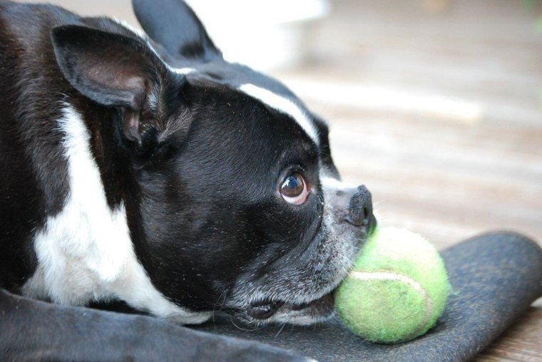 Toby, a 6-year-old Boston terrier, died in May 2012 after he was sickened by chicken jerky pet treats made by Nestle Purina PetCare Co., his owners said. The Connecticut family is among several nationwide who have reached a settlement with pet treat makers.