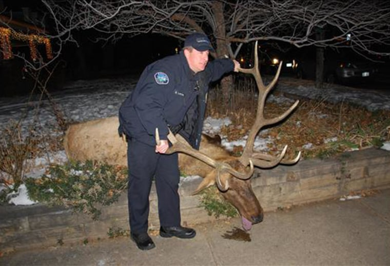 """Image: The elk known as """"Big Boy"""" after he was shot in the Mapleton Hill area of Boulder, Colo., on Jan. 1, 2013"""