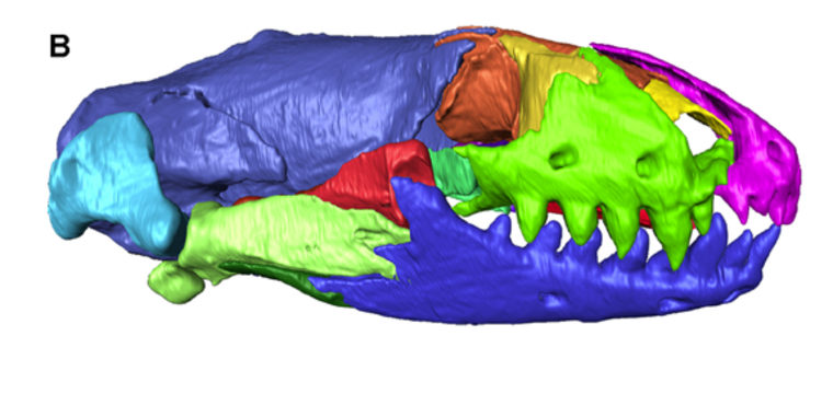 A profile view shows the skull of an 11.6 million-year-old worm lizard, reconstructed with a CT scan.