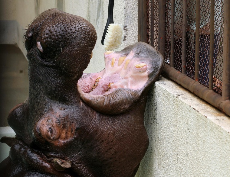 Image: A zoo employee cleans the teeth of a 30 year old hippopotamus
