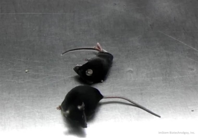 The top mouse is paralyzed, while the mouse on the bottom was treated with human embryonic stem cells and is able to run around.