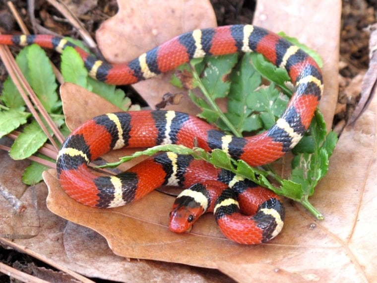 The harmless scarlet kingsnake is colored in repeating patterns of red, black, yellow and black rings — the red rings are surrounded by black rings.
