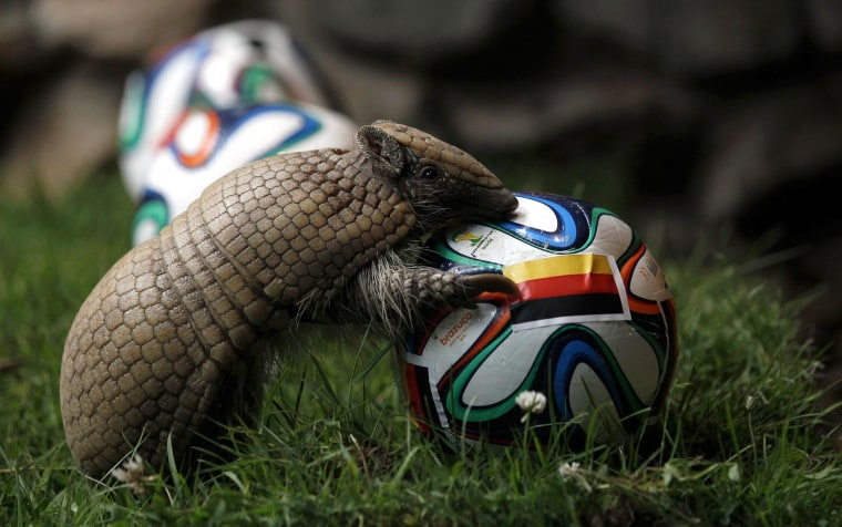 Image: The armadillo called Norman, Germany's World Cup oracle, approaches the soccer ball representing Germany as he makes his prediction for the team's opening World Cup match against Portugal on June 16, at the zoo in the western city of Muenster