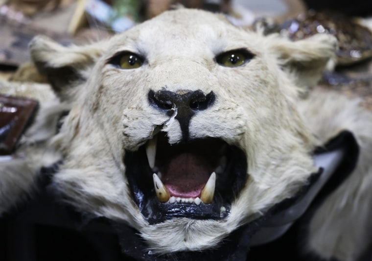 Image: A stuffed lion's head is displayed at a news conference at JFK international Airport, on June 16 in New York to highlight efforts by U.S. Customs and Border Protection and U.S. Fish and Wildlife to deter illegal trafficking in wildlife