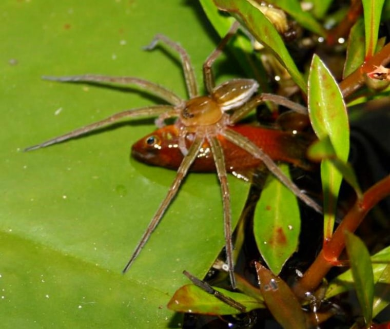 Image: Fish-eating spider