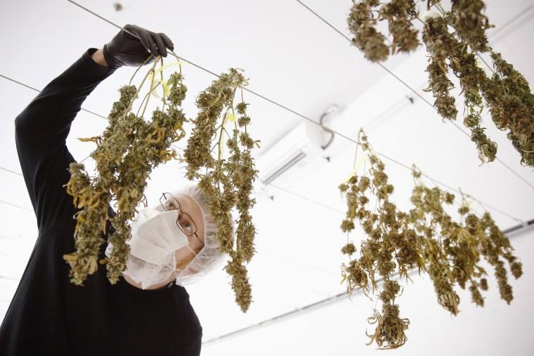 Image: Marijuana drying at Ontario company